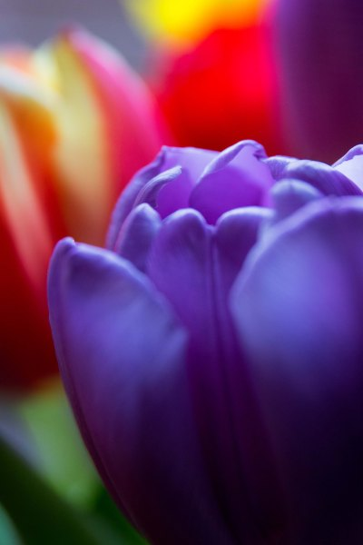 Mindfulness of tulips no.2