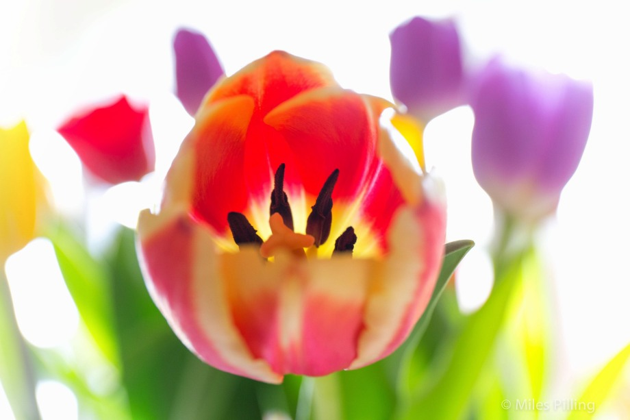 Mindfulness of tulips